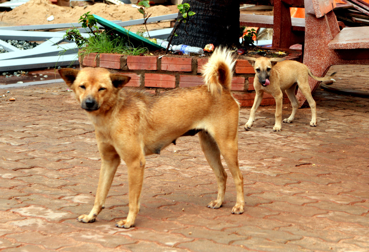 wild-dogs-in-vietnam